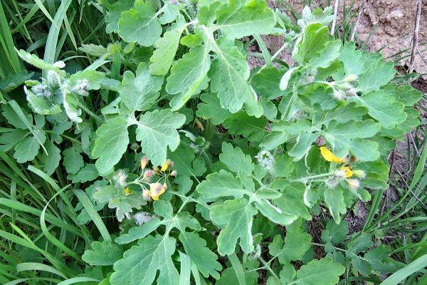 Vlaštovičníkový olej - prostředek proti klíšťatům - rostlina na louce