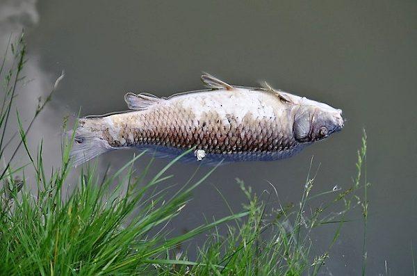 Nemoci ryb - ilustrační foto