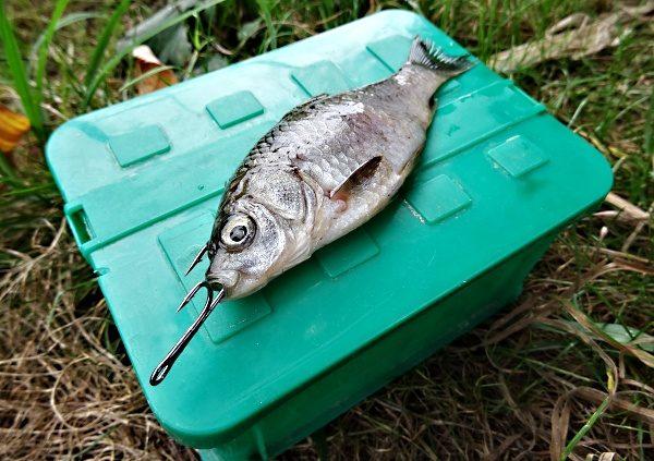 Chytání candátů - nástražní rybka s háčkem v přední části hlavy.