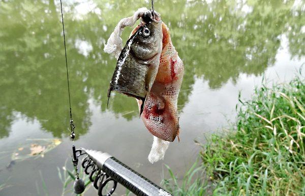 Nastražení rybky na candáta - zakrmení místa pomocí PVA punčochy.