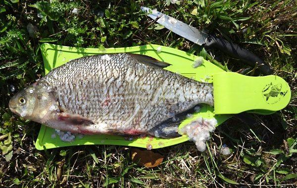 Očištěná jedna strana cejna, pak rybu otočíme a postup opakujeme ...