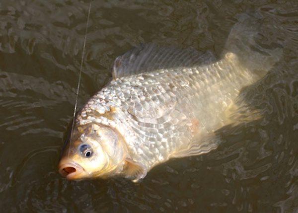 I v ledové vodě se dají chytnou pěkné ryby ...