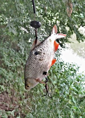 zvukovka-ryba-sumci
