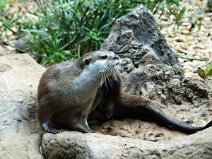 clawed-otter-vydra9