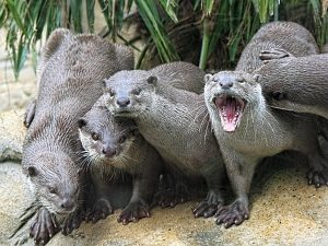 otters-vydry5