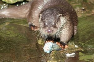 otters-vydry7