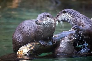 otters-vydry8