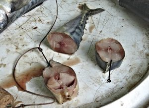 makrela-dravci-chytání5