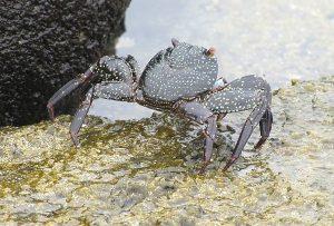 black-crab-krab-rybarskyrozcestnik.cz