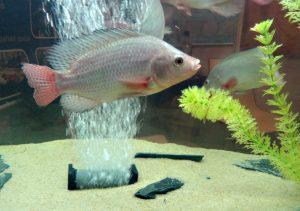 tilápie-akvárium