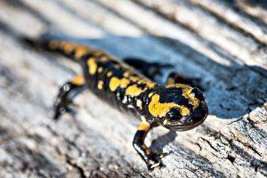 salamander-mlok