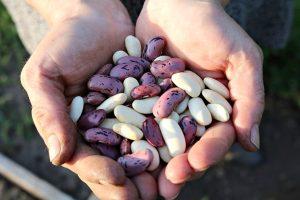 runner-beans-v